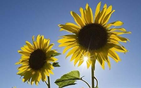 Ah! Sunflower by William Blake   Poetry Grrrl's Archive