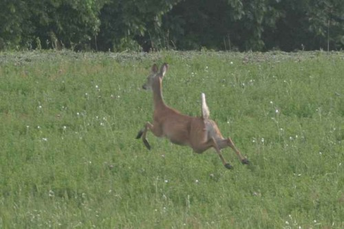 whitetail.6 20 04.02.c 500x333 A Wounded Deer    leaps highest by Emily Dickinson