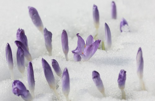 signs of spring 1 500x328 First Crocus by Christine Klocek Lim
